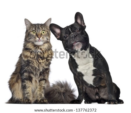 Maine coon and French Bulldog sitting next to each other, isolated on white - stock photo