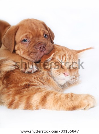 Maine coon cat and puppy Bordeaux on a white background