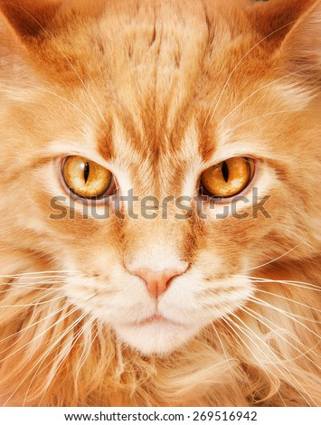 Maine coon cat close-up portrait - stock photo