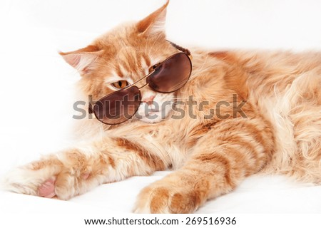 Maine Coon cat in sunglasses - stock photo