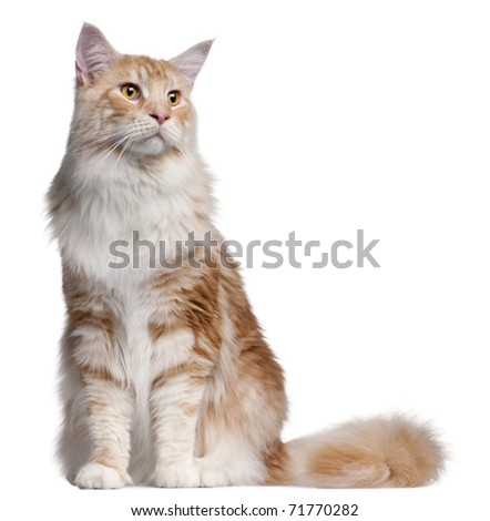 Maine Coon cat, 14 months old, in front of white background - stock photo