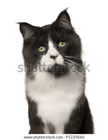 Maine Coon cat, 15 months old, in front of white background - stock photo