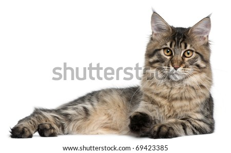 Maine Coon cat, 9 months old, lying in front of white background - stock photo