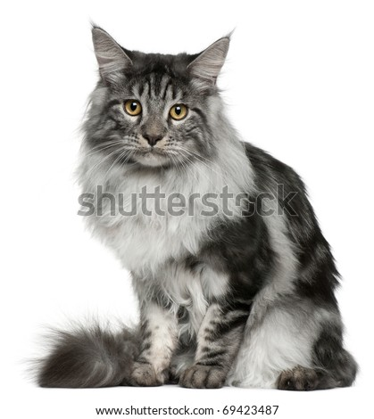 Maine Coon cat, 7 months old, sitting in front of white background - stock photo