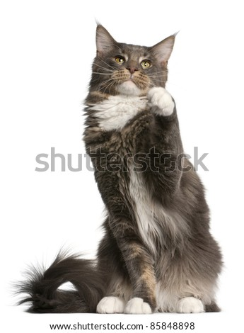Maine Coon cat, 11 months old, sitting in front of white background - stock photo