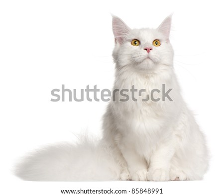 Maine Coon cat, 8 months old, sitting in front of white background - stock photo