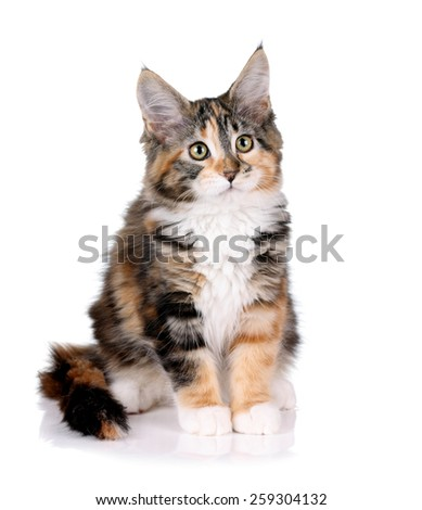 Maine Coon cat, 3 months, on a white background