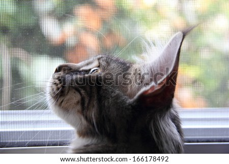 Maine Coon Cat on the window side - stock photo