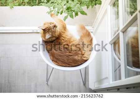 Maine-coon cat on white chair - stock photo