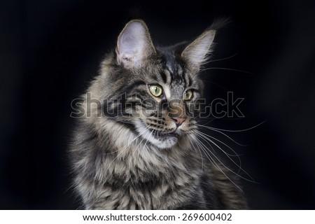 Maine coon cat portrait. - stock photo