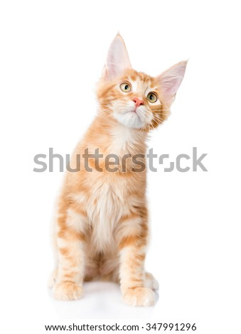 Maine coon cat  sitting in front view and looking up. isolated on white background