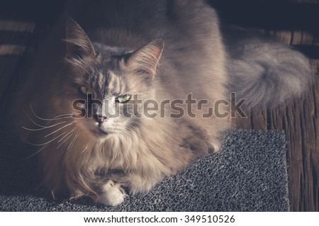 Maine Coon cat sitting on carpet. Vintage tone.
