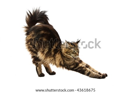 maine coon cat stretching against white background - stock photo
