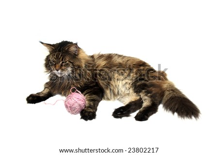 maine coon cat with pink wool ball against white background