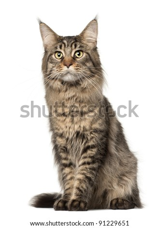 Maine Coon cat, 2 years old, sitting in front of white background