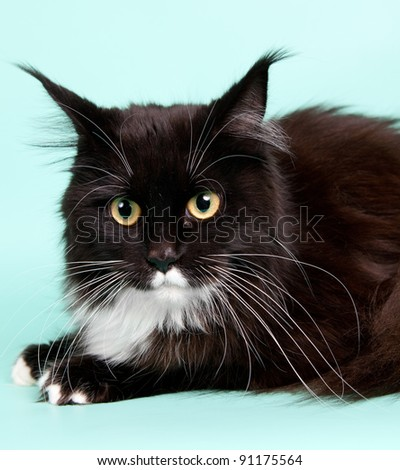 Maine coon head on cyan background