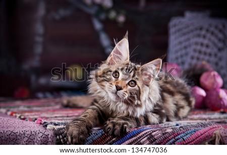 Maine Coon kitten - stock photo