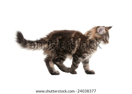 maine coon kitten against white background