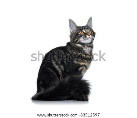 Maine Coon kitten. Age - 3 month - stock photo