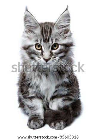 Maine Coon kitten. Age - 2 month - stock photo