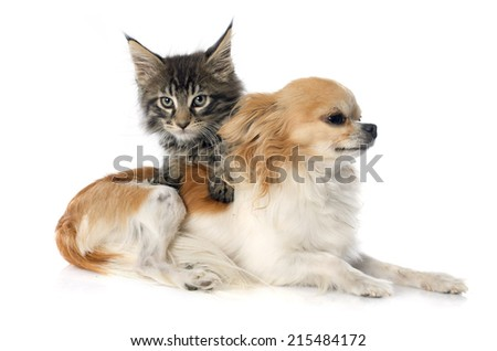 maine coon kitten and chihuahua in front of white background