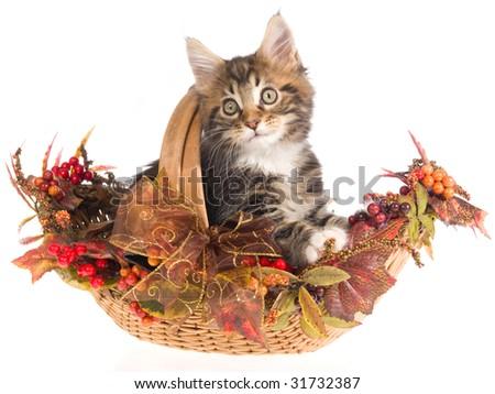 Maine Coon kitten in Fall Autumn basket on white background - stock photo