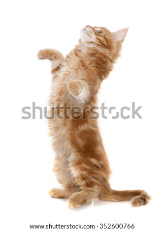 maine coon kitten in front of white background - stock photo