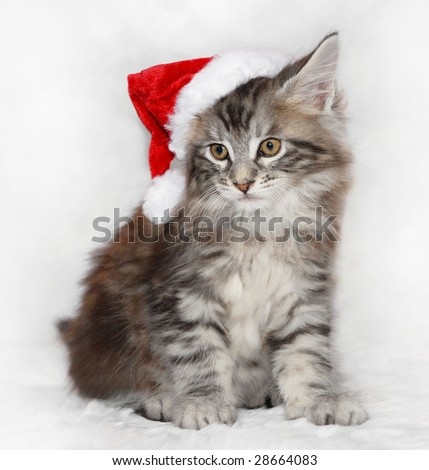 maine coon kitten in santa hat - stock photo