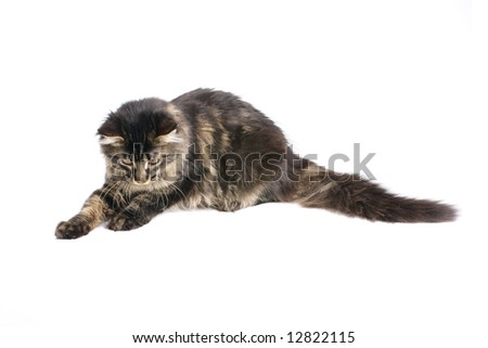 maine coon kitten isolated on white background