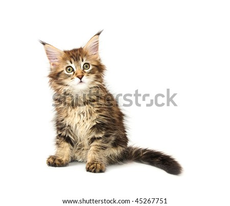 maine coon kitten isolated on white background - stock photo