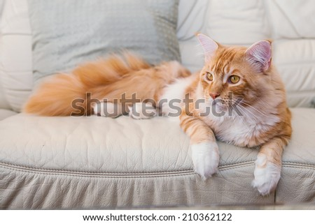 Maine Coon Kitten laying  on the sofa - stock photo