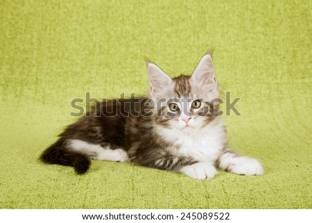 Maine Coon kitten lying down on green background  - stock photo