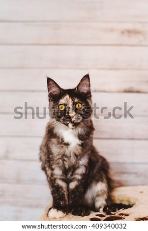 Maine coon kitten. Maine coon cat. Maine coon grey color. Maine coon tortoiseshell kitten sitting on natural background. Maine coon close-up portrait. - stock photo