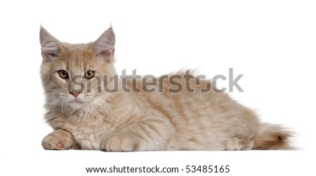 Maine coon kitten, 4 months old, lying in front of white background - stock photo
