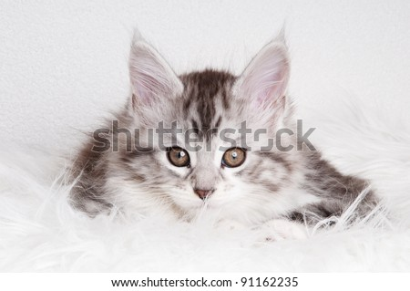 Maine Coon kitten ready to play - stock photo