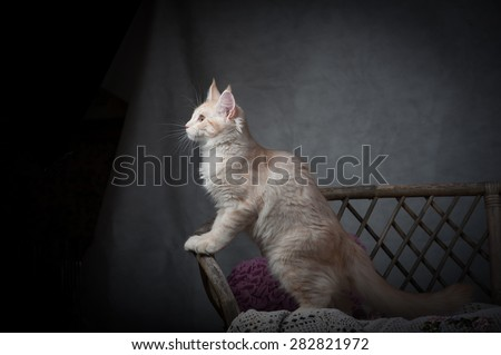 maine coon kitten siting on a bench in studio - stock photo