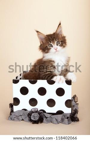 Maine Coon kitten sitting inside black and white polka dot  gift box on beige background - stock photo