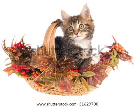 Maine Coon kitten sitting inside Fall Autumn basket on white background - stock photo