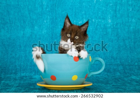 Maine Coon kitten sitting inside polka dot large cup with saucer on blue background