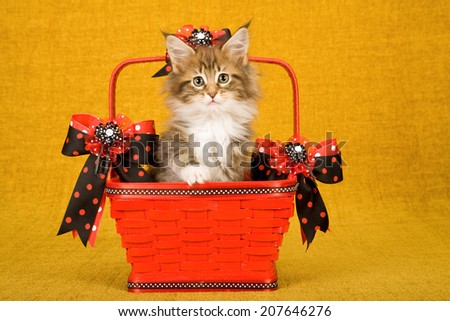 Maine Coon kitten sitting inside red basket decorated with red and black polka dot ribbons and bows on gold background  - stock photo