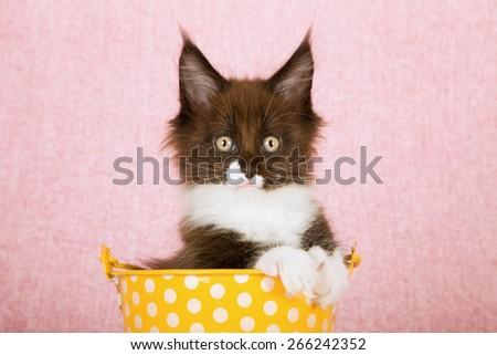 Maine Coon kitten sitting inside yellow polka dot pail bucket pot on pink background  - stock photo