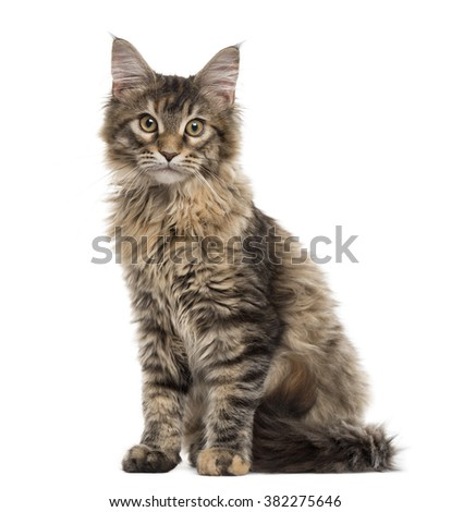 Maine Coon kitten sitting, isolated on white (5 months old)