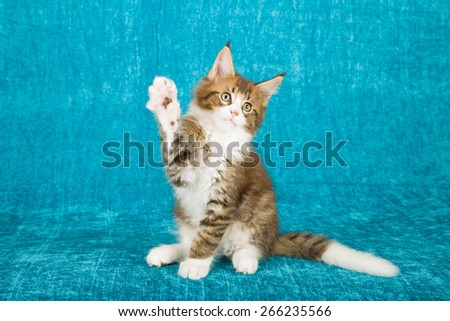 Maine Coon kitten sitting on blue background giving high five wave waving  - stock photo