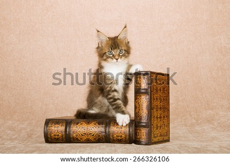 Maine Coon kitten sitting on leather bound books against beige background  - stock photo