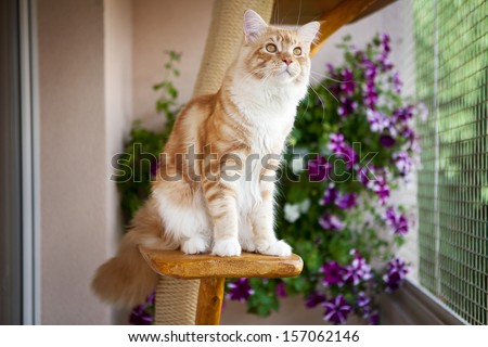 Maine Coon Kitten sitting on the scratching post - stock photo