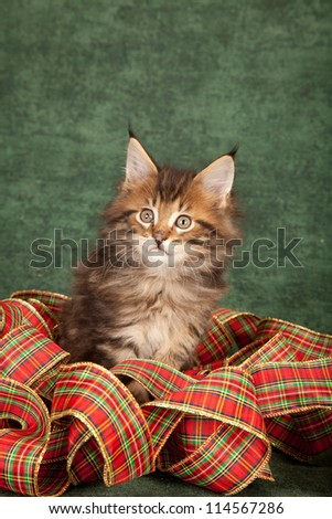 Maine Coon kitten with Christmas ribbon on green background - stock photo