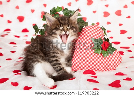 Maine Coon kitten with valentine heart cushions on white red heart background fabric - stock photo