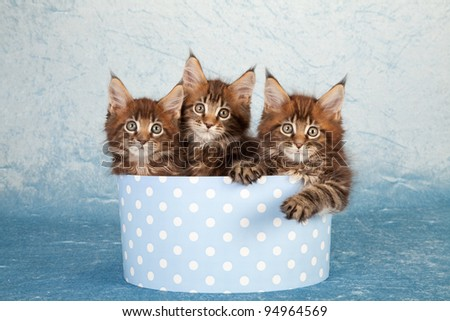 Maine Coon kittens in round blue gift box on blue background - stock photo