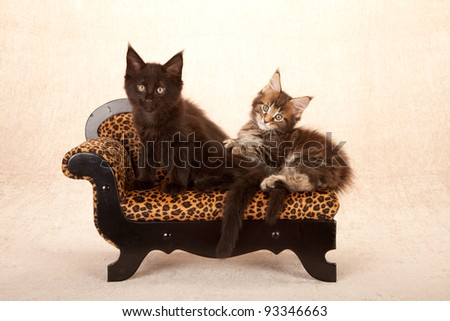 Maine Coon kittens on animal print chase couch sofa on beige background - stock photo