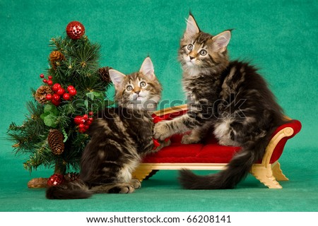 Maine Coon kittens on sofa with Christmas tree - stock photo